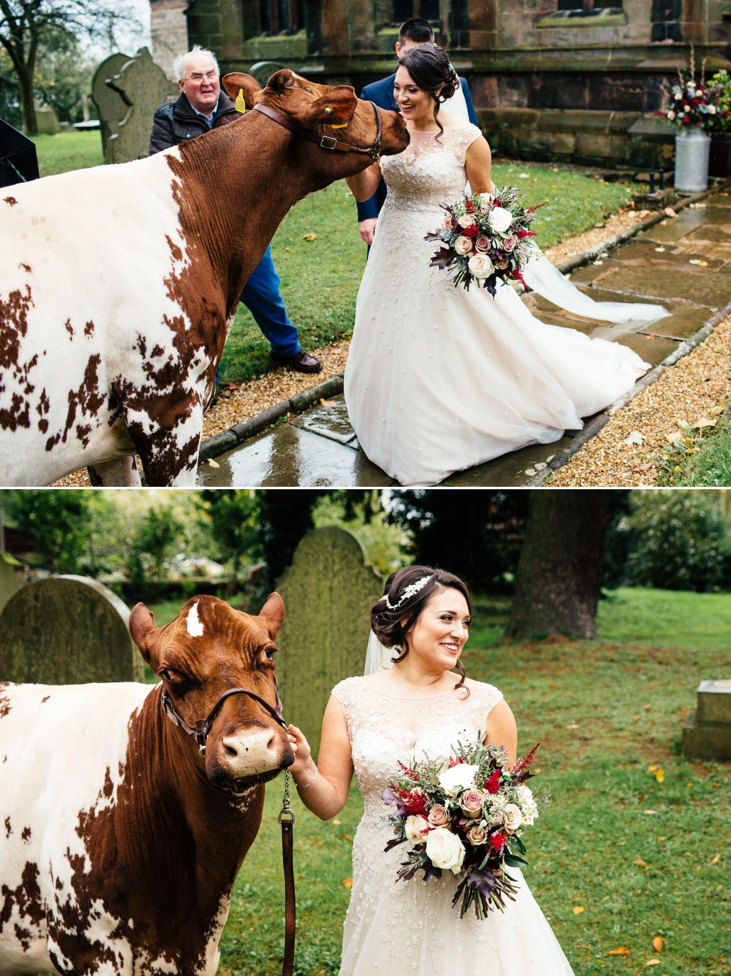 bride with a cow